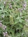 وصفة اعشاب للتخسيس الكرش و الجسم والصدروشدة والترهلات والتنحيف large_1237983385.jpg